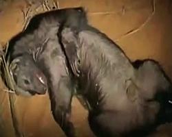 Sleeping Honey Badger