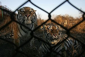 Hengdaohezi Breeding Center For Tigers